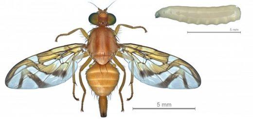 Anastrepha_obliqua_larva