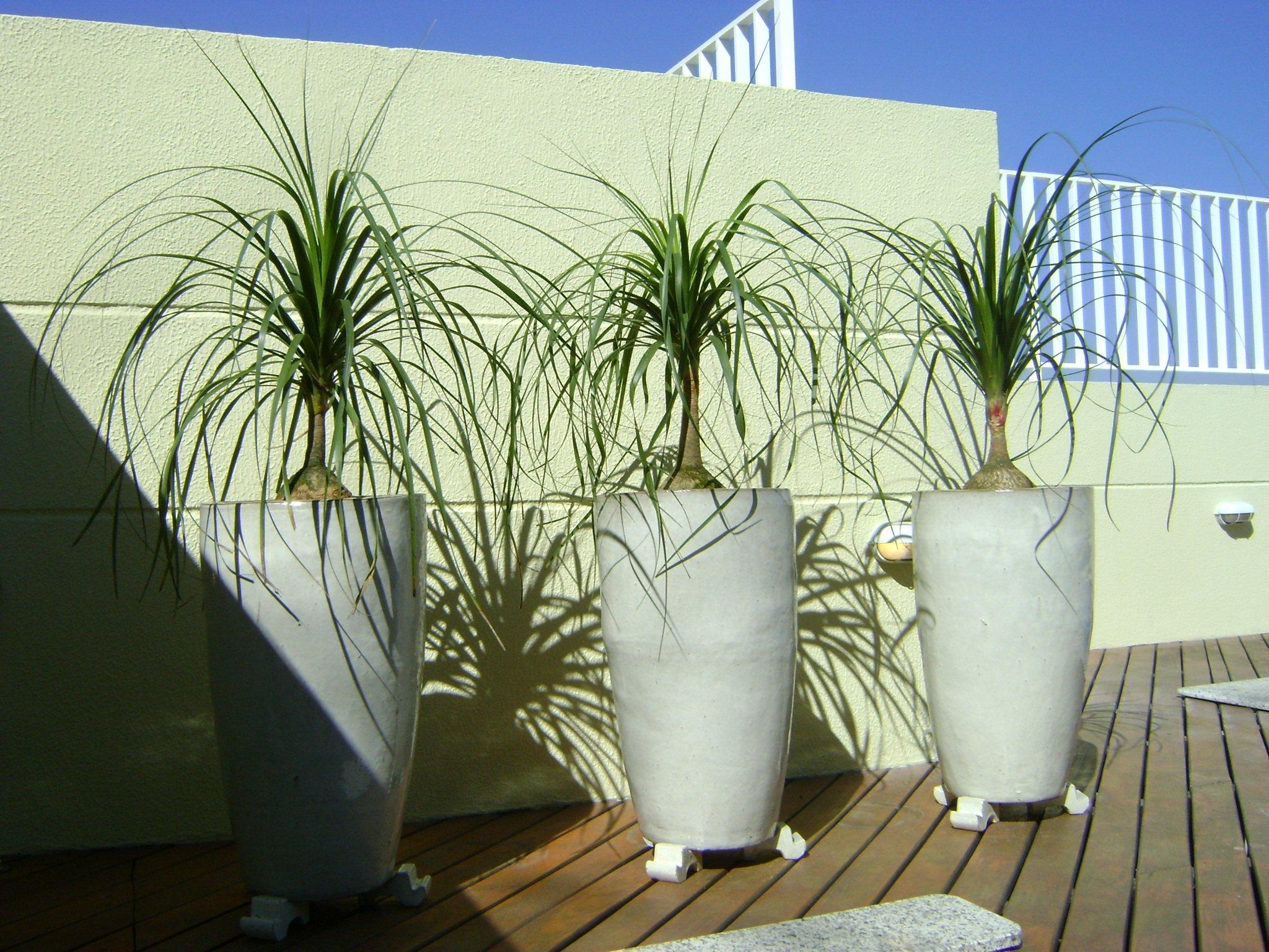 água por ser uma planta típica de regiões de deserto