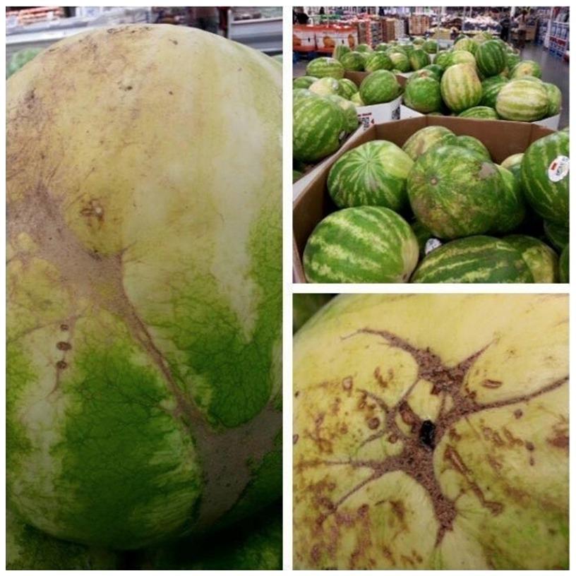 Mancha marrom na melancia