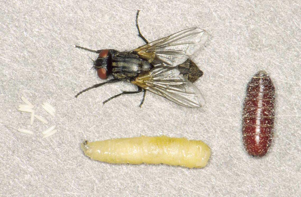 O que acontece se uma pessoa comer larva de mosca?