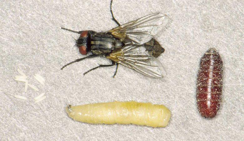 Larva de mosca